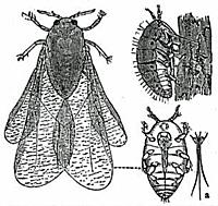 pic of Phylloxera bug