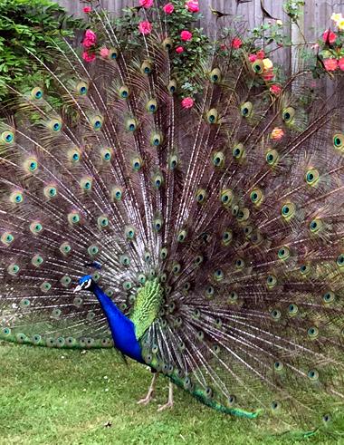 Raj the peacock